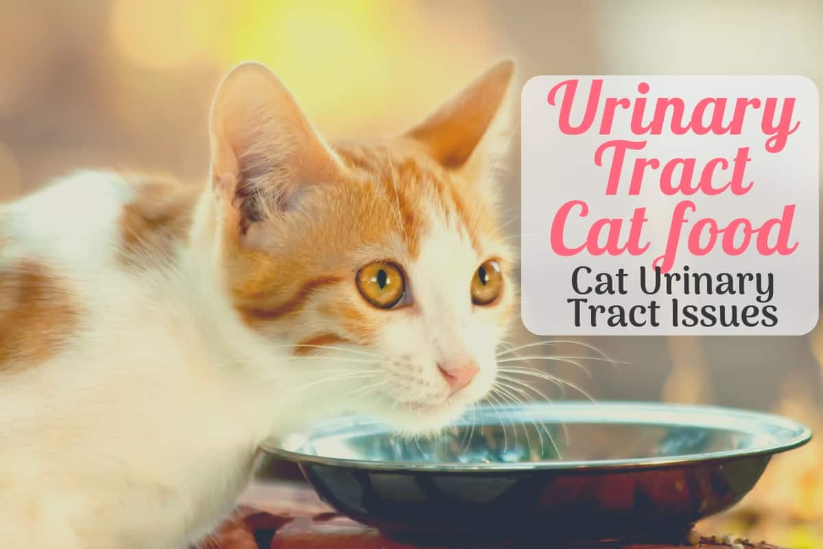 cat eating best urinary tract cat food from bowl