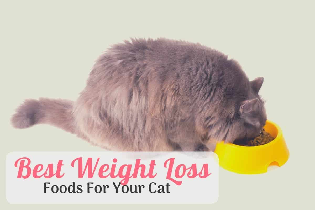 large cat eating the best cat food for weight loss