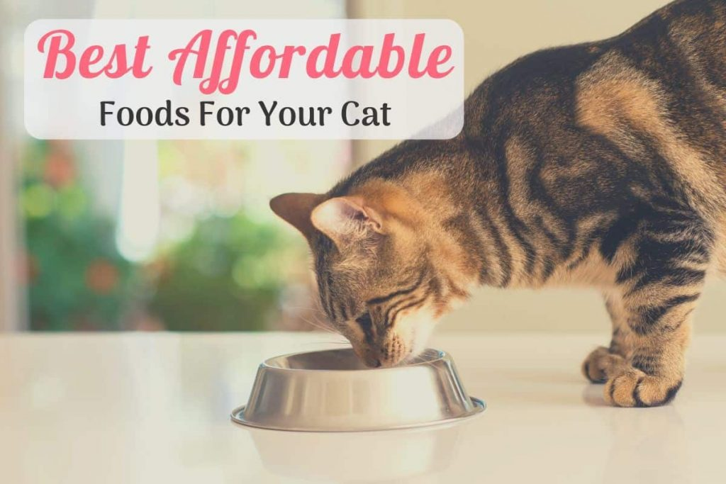 cat eating the best cheap cat food