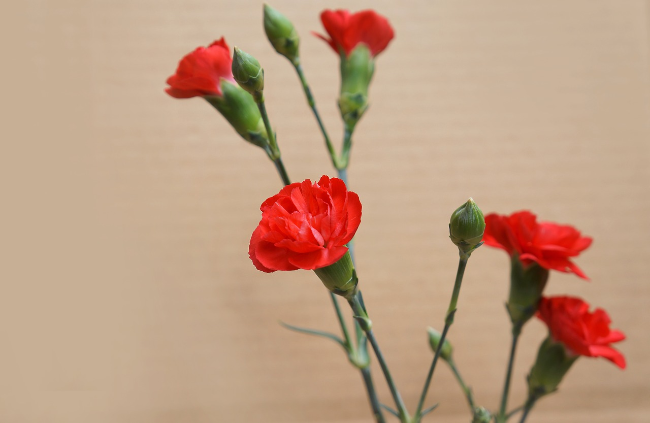 four red carnations
