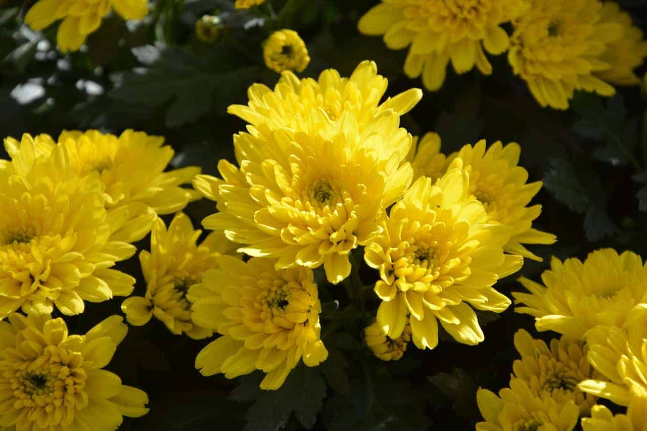 yellow mums in a garden