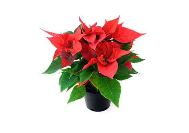 poinsettias in a pot